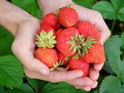 strawberries in a hands