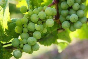 young green grapes in a winery
