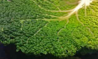 a large savoy cabbage leaf bright green color