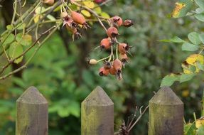 Rose hip berries in garden