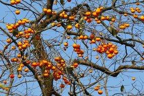 natural fruit trees persimmon