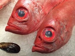 red fish with big eyes
