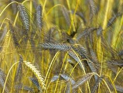 golden and gray spikelets on a farm field