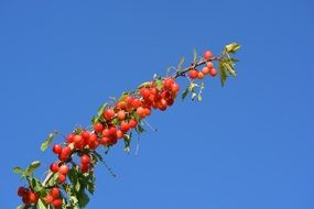 cherry on branch in air blue sky