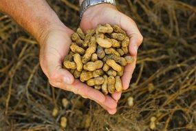 peanuts raw agriculture