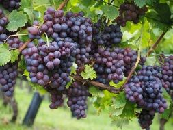 varietal wine berries grapes blue
