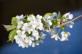 white cherry blossom branch