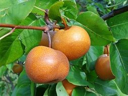 Asian pear with fruits