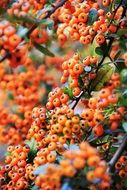 Closeup photo of berries on a tree