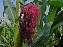 corn red flower