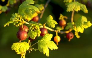 Dark red gooseberry on green branch