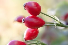dog-rose fruit