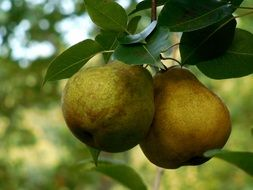 two green pears on a branch