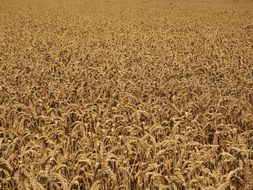 rich wheat field