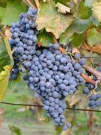 Black grapes are growing in garden