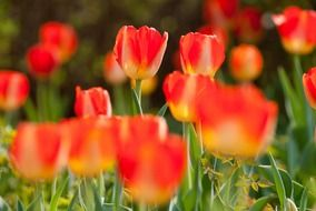 lot of red tulips on flower bed