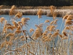 reeds near the lake