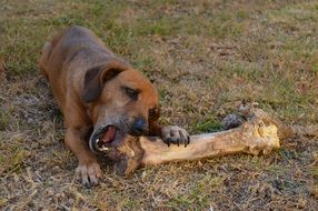 hungry dog and a huge bone