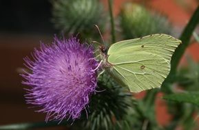 white butterfly on a thistle