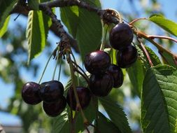 dark ripe cherries on a branch close up