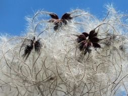 clematis vitalba soft fluffy seeds