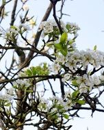 flowering fruit tree branch