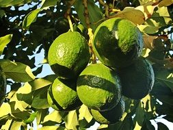 avocado fruits on branch