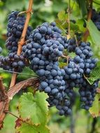 blue wine berries