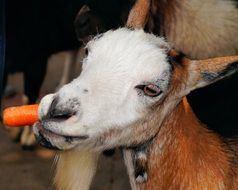 goat gnaws a carrot
