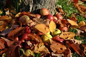apple orchard windfall autumn