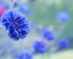 Blue beautiful blossoming cornflowers