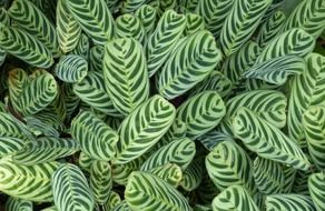 striped maranta leaves, green background