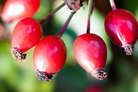 red rose hip canina fruit