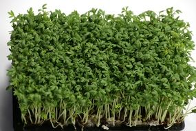 green fresh cress
