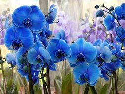 many blue orchids close up