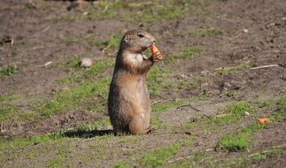 A Prairie Dog nibbles on a carrot