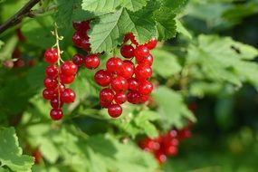 red currant plant summer garden