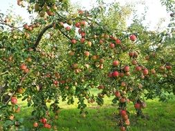 a large apple orchard