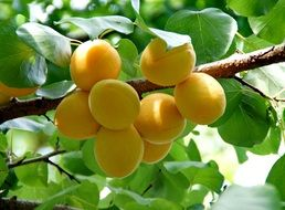apricot on a tree in summer