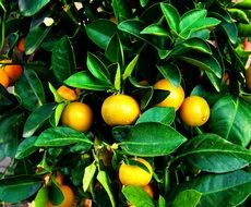 tangerines among green leaves on a tree close-up