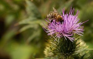 insect on the flower of a thistle