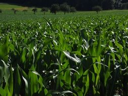 green corn field in agriculture