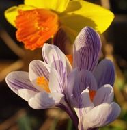 crocus white violet and yellow narcissus