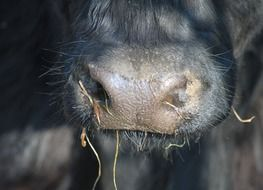 Picture of cow's nose