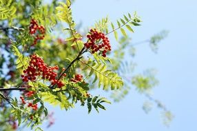 red rowan berry tree sky view