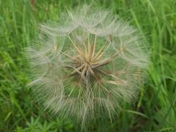 dandelion with fluffy seeds on green grass close-up