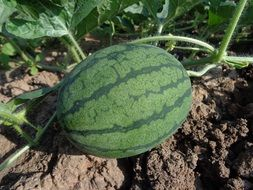 growing large watermelons in the garden