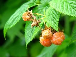raspberries on a bush among green leaves