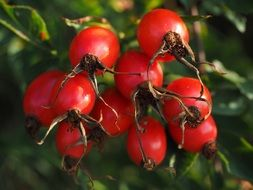 red rose hip wild plant