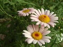 three organic daisies